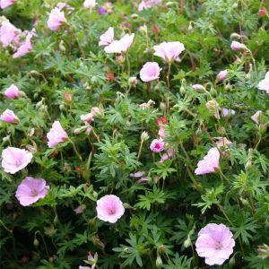 Zartrosa Storchschnabel (Geranium sanguineum) VISION Pink®