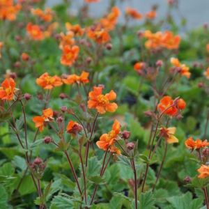Nelkenwurz (Geum) Cocktail Sea Breeze