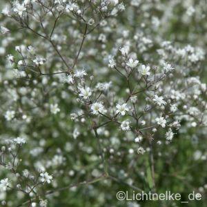 Schleierkraut (Gypsophila paniculata ) Schneeflocke