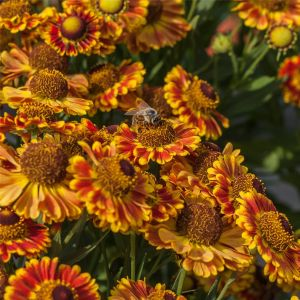Sonnenbraut (Helenium autumnale) MARIACHI Fuego