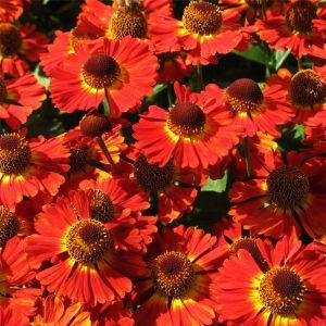 Sonnenbraut (Helenium autumnale) MARIACHI Salsa