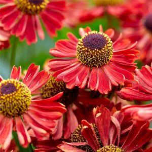 Sonnenbraut (Helenium autumnale) MARIACHI Siesta