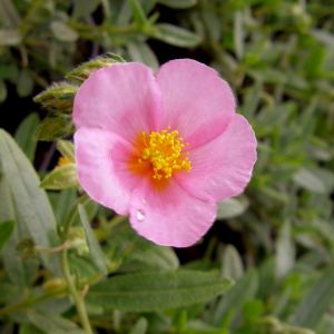Sonnenröschen (Helianthemum) Lawrensons Pink