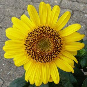 Stauden-Sonnenblume (Helianthus) Suncatcher Pure Gold