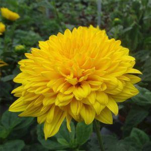 Stauden-Sonnenblume (Helianthus x multiflorus) Sunshine Daydream