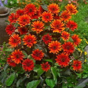 Sonnenauge (Heliopsis helianthoides) Fire Twister