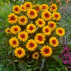 Sonnenauge (Heliopsis helianthoides) Funky Spinner