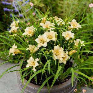 Remontierende Zwerg-Taglilie (Hemerocallis) EVERY DAYLILY Cream