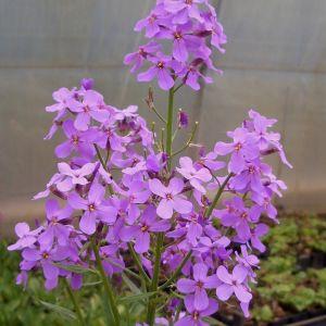 Nachtviole (Hesperis matronalis)