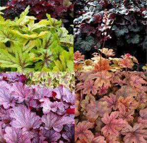 7 Vierländer Pflanzen (Bunter Blattschmuck - Heuchera / Heucherella) Mix