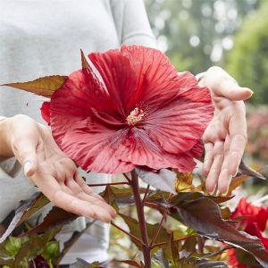 Riesen-Hibiskus (Hibiscus moscheutos) Carousel® Geant Red