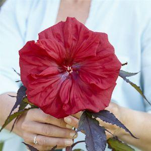 Riesen-Hibiskus (Hibiscus moscheutos) Carousel® Red Wine