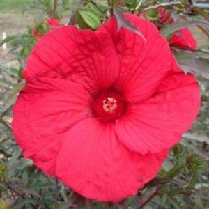 Riesen-Hibiskus (Hibiscus moscheutos) Fireball®