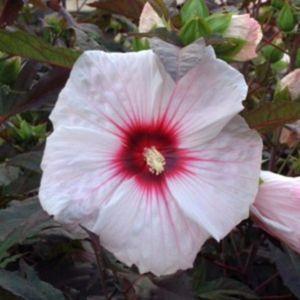 Riesen-Hibiskus (Hibiscus moscheutos) Kopper King®