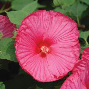 Riesen-Hibiskus (Hibiscus moscheutos) LUNA Rose