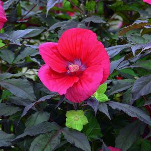 Riesen-Hibiskus (Hibiscus moscheutos) SUMMERIFIC Midnight Marvel®