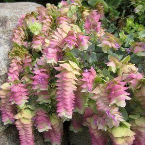 Hopfendost (Origanum rotundifolium) Kent Beauty