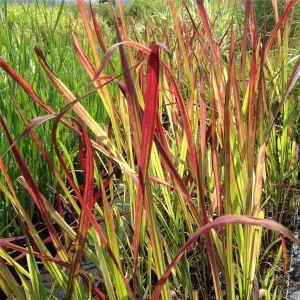 Flammengras / Japanisches Blutgras (Imperata cylindrica) Red Baron
