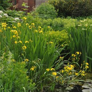 Schwertlilie (Iris pseudacorus)