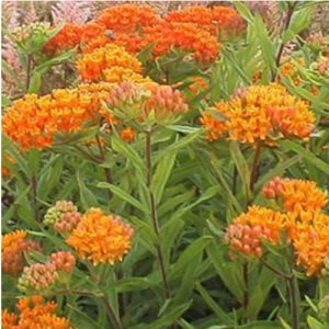 Knollige Seidenpflanze (Asclepias tuberosa)