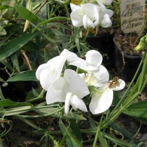 Staudenwicke (Lathyrus latifolius) Weiße PERLE