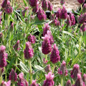 Schopf-Lavendel  (Lavandula stoechas) Bandera Deep Rose