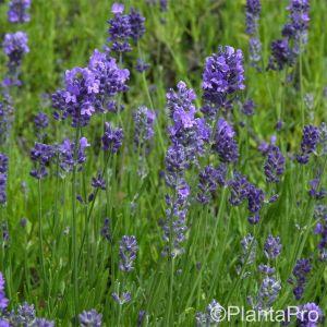 Lavendel (Lavandula angustifolia) Munstead Strain
