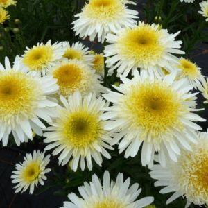 Großblumige Margerite (Leucanthemum superbum) Real Glory