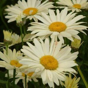 Gelbe Sommermargerite (Leucanthemum x superbum) BROADWAY