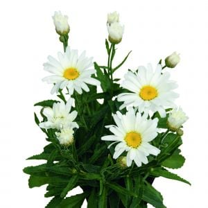 Großblumige Margerite (Leucanthemum x superbum) Daisy May