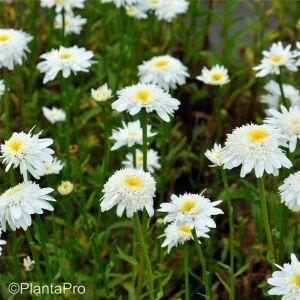 Gefüllte Sommermargerite (Leucanthemum superbum) Stina