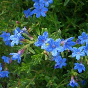 Steinsame (Lithodora diffusa) Heavenly Blue