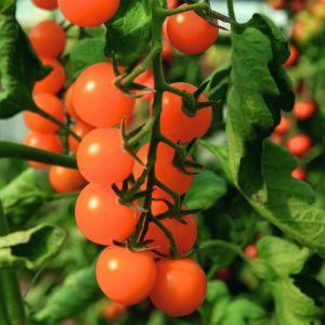 Cherry-Tomate (Solanum lycopersicum) Sungold