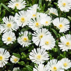 Mittagsblümchen (Delosperma) WHEELS OF WONDER White Impr.
