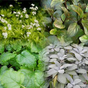 5 Pflanzen (für Tee-Liebhaber / Balkon) Mix