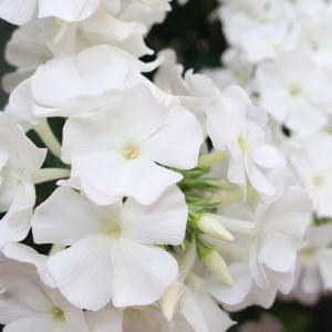 Flammenblume (Phlox paniculata) FLAME White Imp.