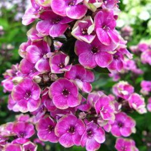 Flammenblume (Phlox paniculata) Aureola®