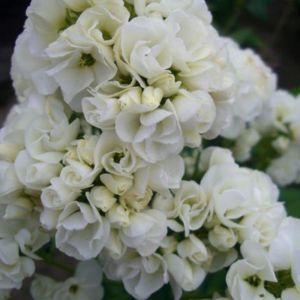 Gefüllte Flammenblume (Phlox paniculata) Tiara®