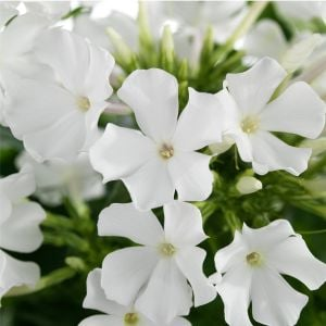 Flammenblume (Phlox paniculata) EARLY White