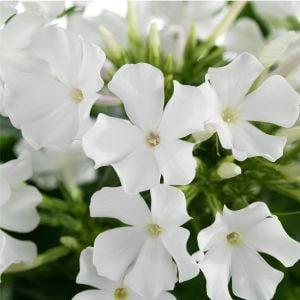 Flammenblume (Phlox paniculata) EARLY White