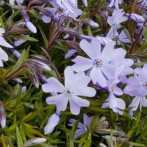 Polsterphlox (Phlox subulata ) Cushion Blue