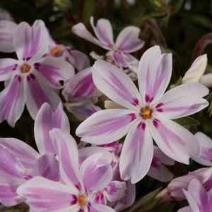 Polsterphlox (Phlox subulata) Kimono Pink-White