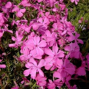 Polsterphlox (Phlox subulata) McDaniels Cushion