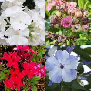 10 Pflanzen Flammenblume (Phlox) Mix
