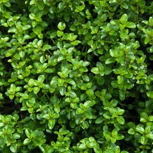 Pizzathymian (Thymus vulgaris)