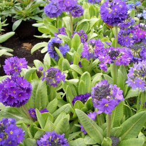 Kugelprimel (Primula denticulata ) blau / lila