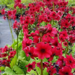 Japanische Etagenprimel (Primula japonica) Millers Crimson