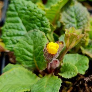Bergprimel/Teppichprimel (Primula x pruhoniciana) WANDA Gelb