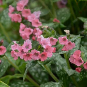 Lungenkraut (Pulmonaria) Pretty in Pink