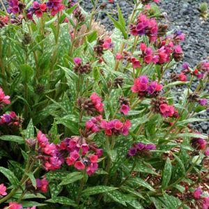 Lungenkraut (Pulmonaria saccharata) Raspberry Splash